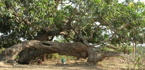 Wandering mango tree
